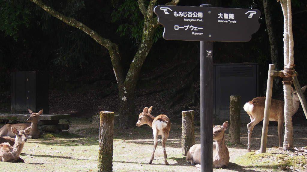 広島の鹿2@もみじ谷公園